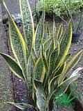 Lidah Mertua Sansevieria