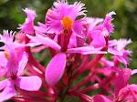 Epidendrum elongatum
