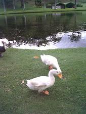 Patos en el Laguito