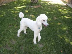 Puppy #2 - Joli
