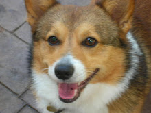 Tobie - the Grouchy Corgi