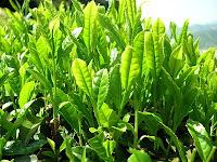 la planta del te verde