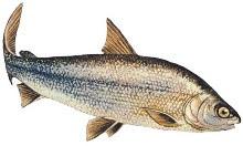 sablefish omega 3