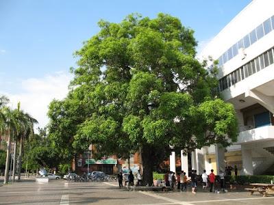 台南成大老樹