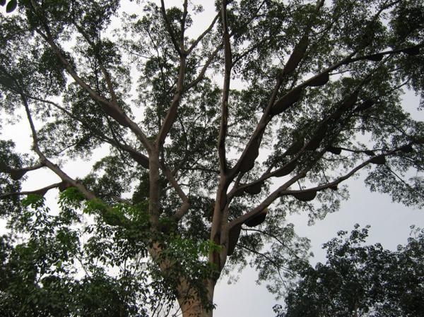 Pohon Sialang