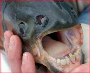 Ikan Bergigi Manusia Foto
