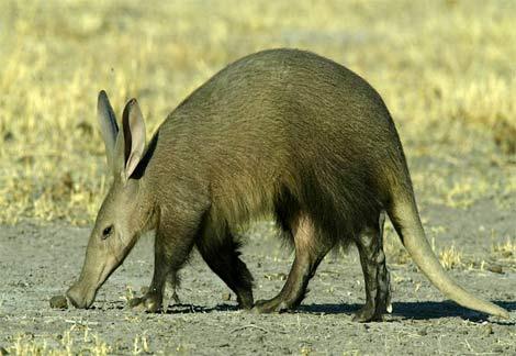 bonitinho aardvark, animal, buraqueiro, faz buracos para procurar alimentos e fugir de predadores,aardvark