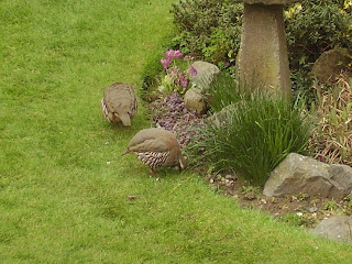 French. or red legged partridge