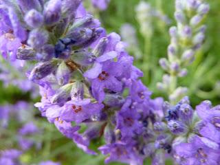 Lavendel - nicht nur schlaffördernd.....