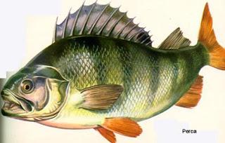Perca, comodín en la cocina y son Pescados de nueva GENERACION