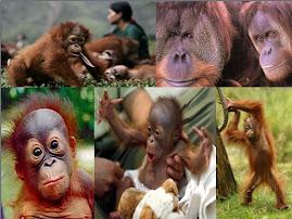 Diario de un Orangutan