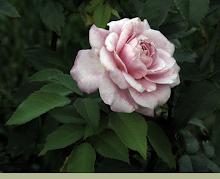 Evening Rose