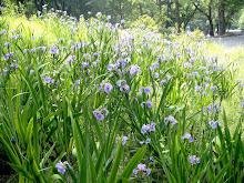 Wild Iris Field
