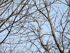 Spring alert: Cardinal papa