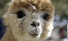 The Hairy Alpaca.