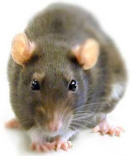 Preso demanda a cárcel porque rata lo mordió