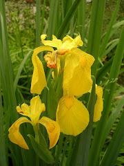 Cet iris est commun aux baisses