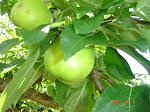 Härliga äpplen