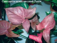 Pink Syngonium for decorating terrariums