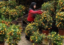 pohon jeruk imlek murah