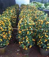 pohon jeruk ilmlek