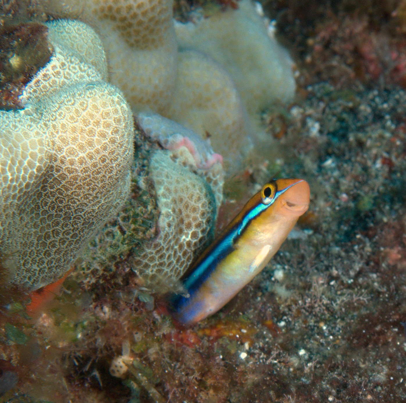 under pressure world: Ewa Fang Blenny- Kona, HI
