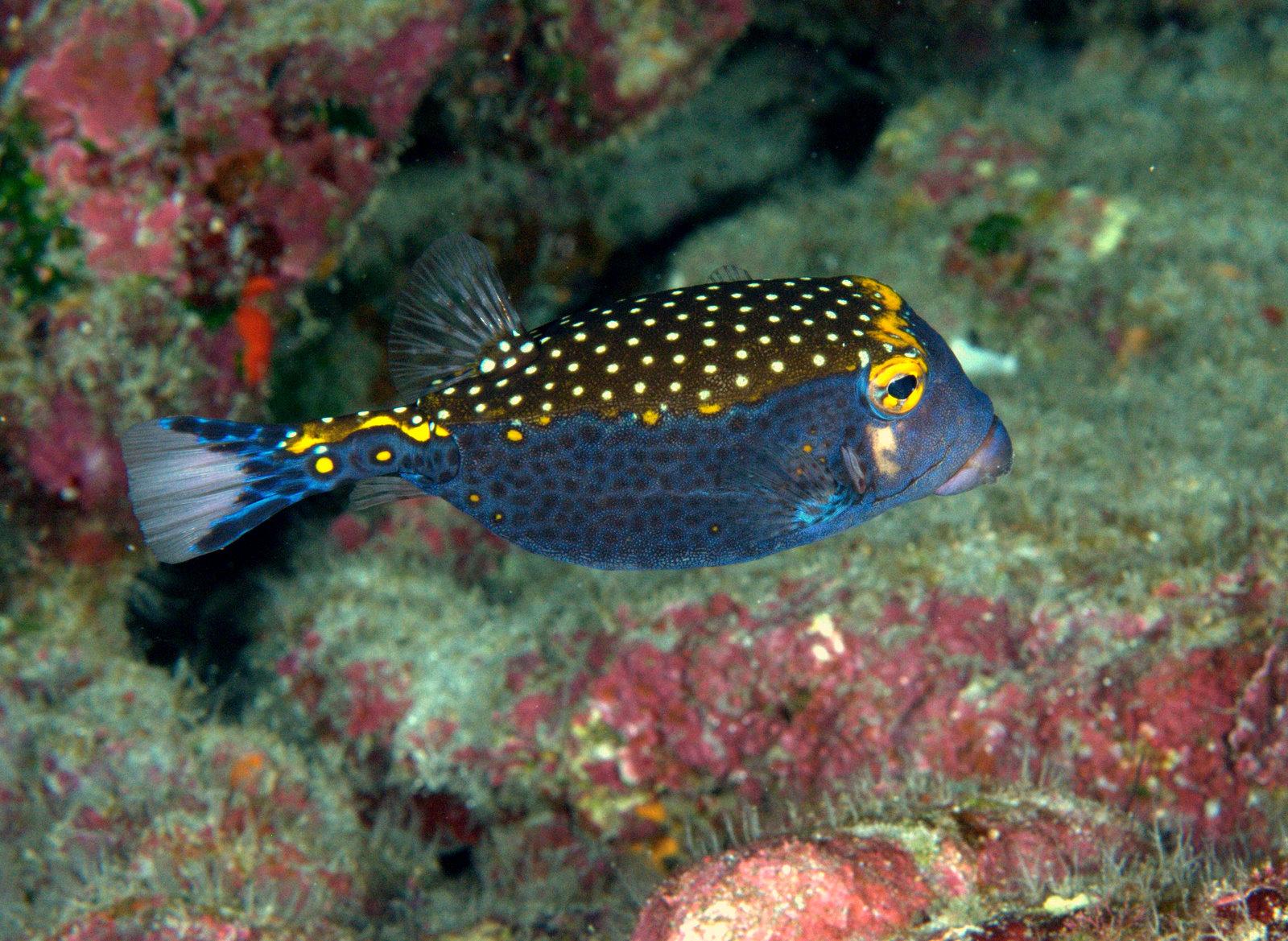 under pressure world: Spotted Boxfish, male- Kona, HI