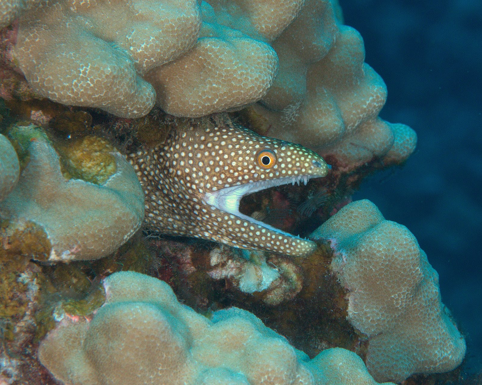 under pressure world: White Mouth Moray Eel- Kona, HI