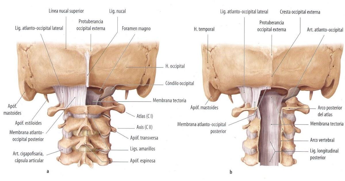 ABC-UVM Anatomia II: Articulaciones propias de algunas vértebras