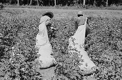 Lobojo's Den: Stripping, Picking, Pulled, and Picked Cotton Plantations 1800s