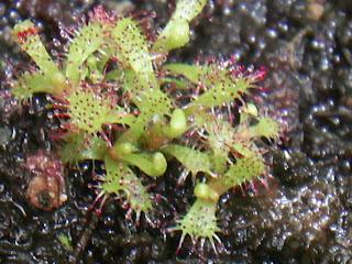 Drosera-capensis-leaf-cutting-corte-folha