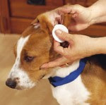dog getting ears cleaned
