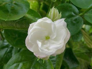 http://2.bp.blogspot.com/_IX2ZBwgHC-Y/SunVZgZYOhI/AAAAAAAAAC0/9ltb-oJm5Ek/s320/jasminum-sambac.jpg