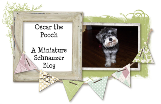 Oscar the Pooch: A Miniature Schnauzer Blog