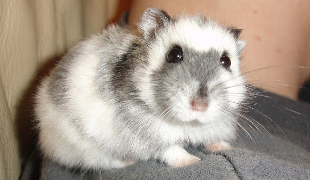 Russian Dwarf Hamster by cdrussorusso from flickr (CC-BY)