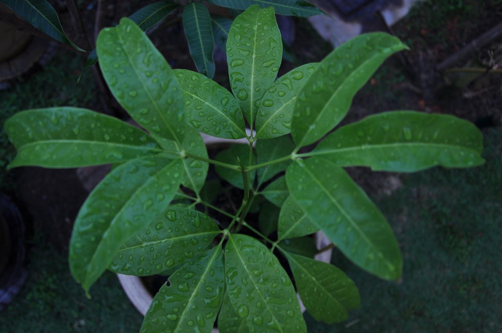 Ekzos Buluh Pokok Herba Ulam