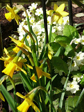 Daffodils and primroses