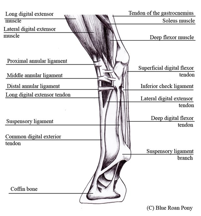 Lab9 as well 19299113 likewise Pelvis Coloring Page Sketch Templates in addition Ankle Foot Injuries Salt Lake City Utah in addition Actinonaias. on lateral foot diagram labeled