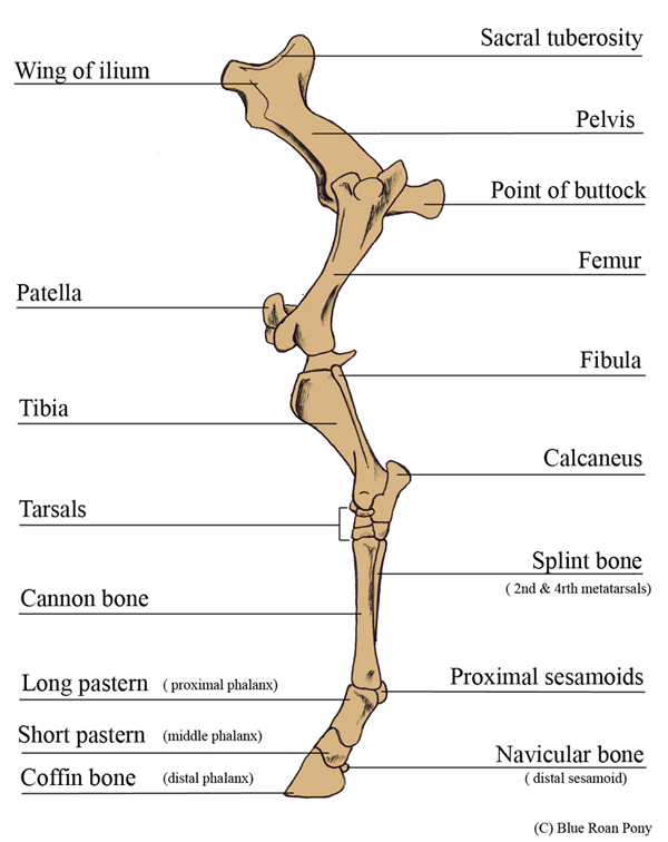 Forever Horses Anatomy Of The Equine Hindleg
