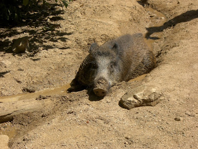 Porc senglar al Parc de l'Oreneta