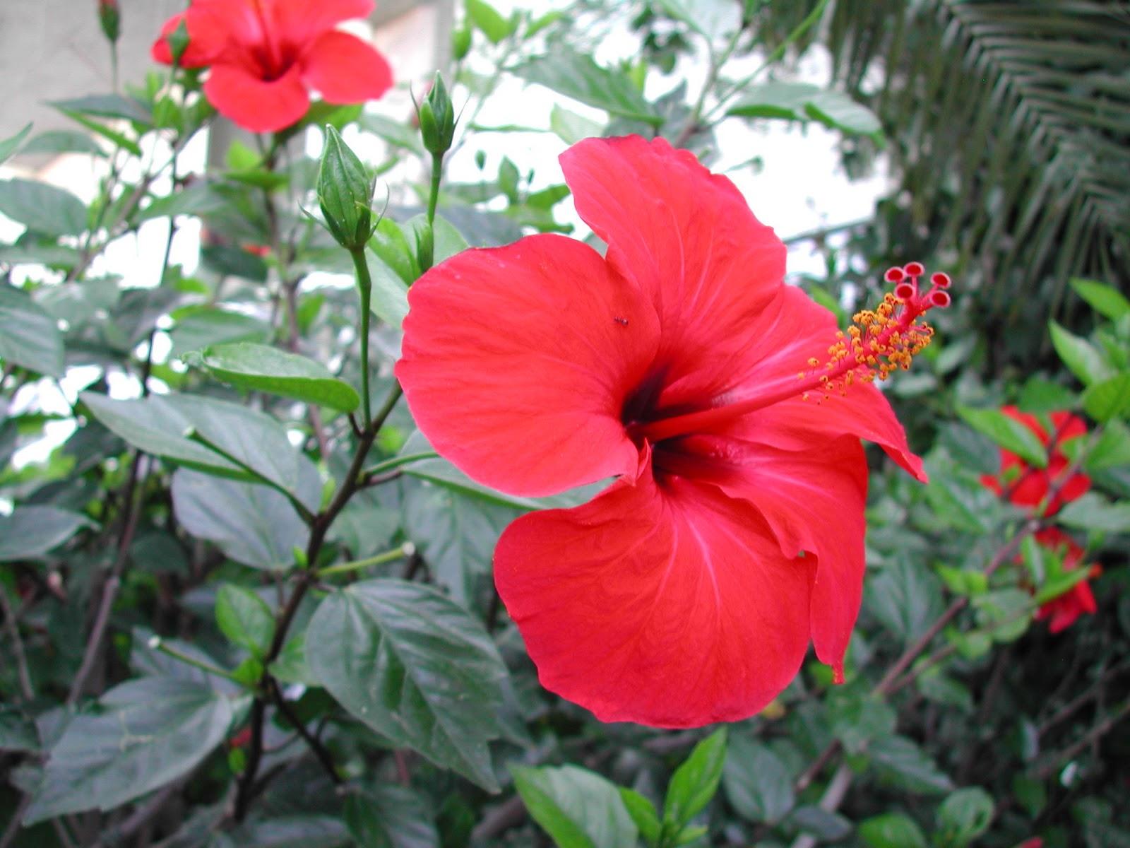Un flor ideal para el verano, el hibiscus  Cuidado de Plantas