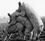 Más Cerdos: