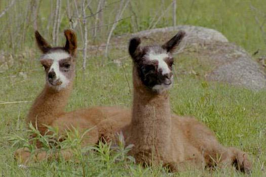 Eolian Farm Llamas & Shetlands