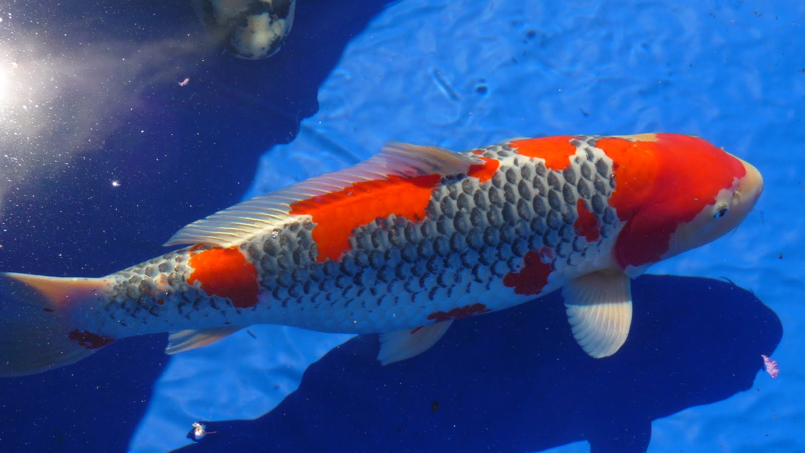 Living with koi 2010 zna potomac koi show for Purchase koi fish