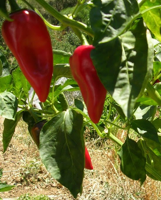 how to grow piquillo peppers