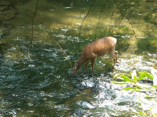 Deer in the Great Smoky Mountains