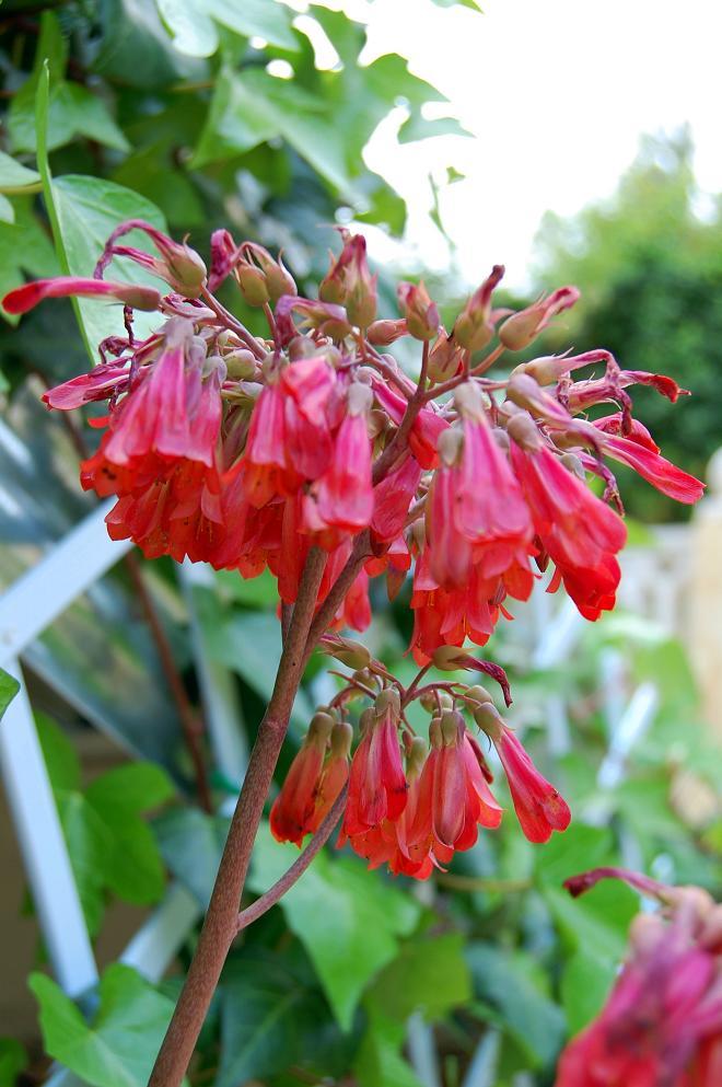 lille aloe vera blomst