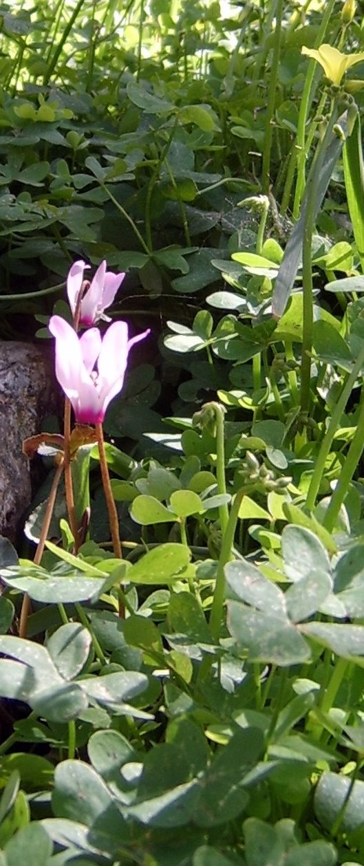 Wild Cyclamen on Jerusalem Terrace