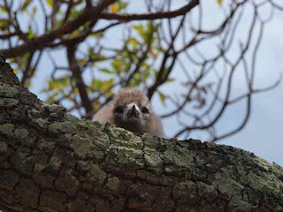 [Fledgling bird at Ducie Island]