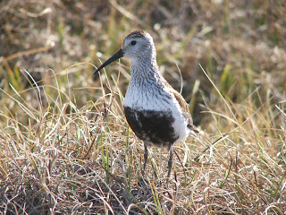 [Breeding season Dunlin at Arctic NWR]